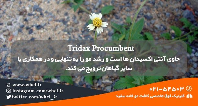 Tridax Procumbent
